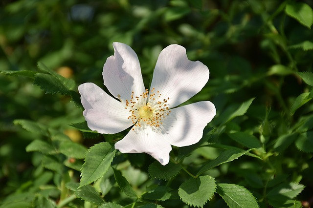 Wild Rose, Rose Hip, Close