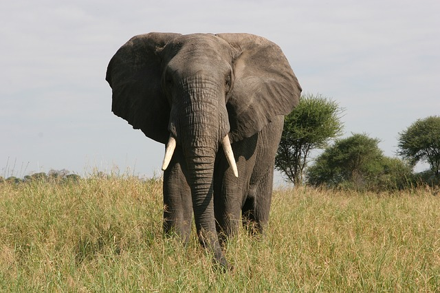 Elephant, Tusk, Safari, Tarangire, Nature, Wild, Animal
