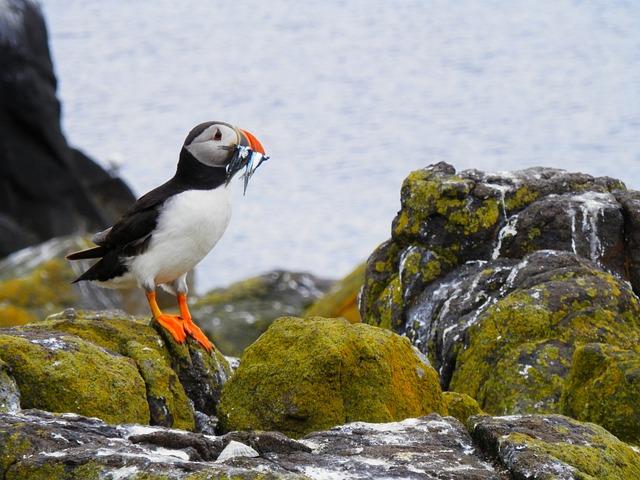 Puffin, Seabird, Nature, Wild, Animal, Cliff