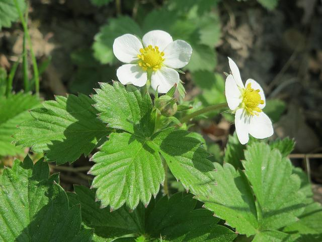 Fragaria Vesca, Wild Strawberry, Woodland Strawberry