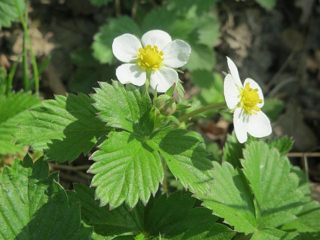 Fragaria Vesca, Wild Strawberry, Woodland Strawberry