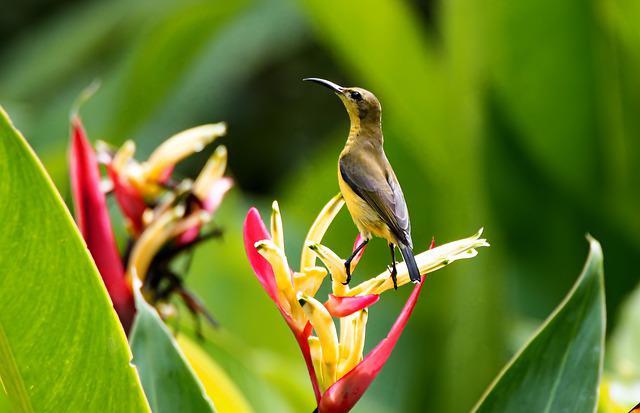 Olive-back Female Sunbird, Sunbird Perch, Wild, Bird