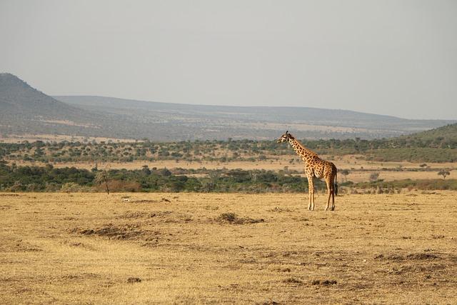 Safari, Desert, Nature, Wildlife, Travel, Giraffe, Wild