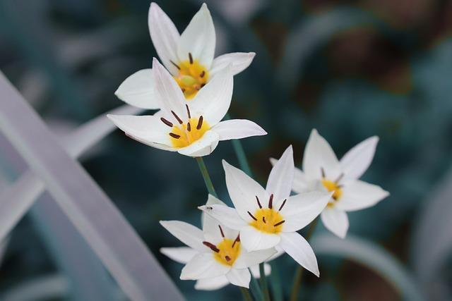 Wild Tulip, Tulipa Sylvestris, Vineyard Tulip