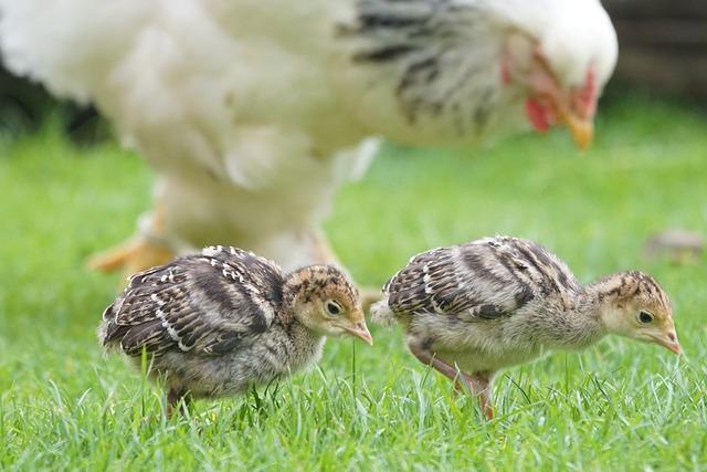 Chicks, Wild Turkey, Nurse, Chicken, Poultry