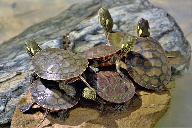 Turtles, Wild, Baby, Painted, Six, Stacked, Newborns