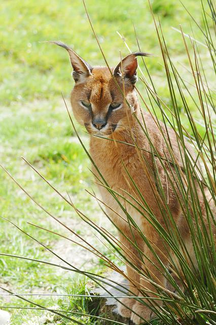 Caracal, Cat, Wild, Wildlife, Animal, Mammal, Feline