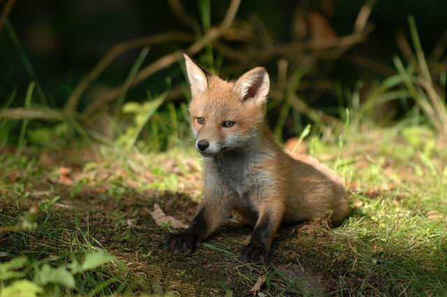 Mammals, Fox, Wildlife, Natural, Wild, Outdoor