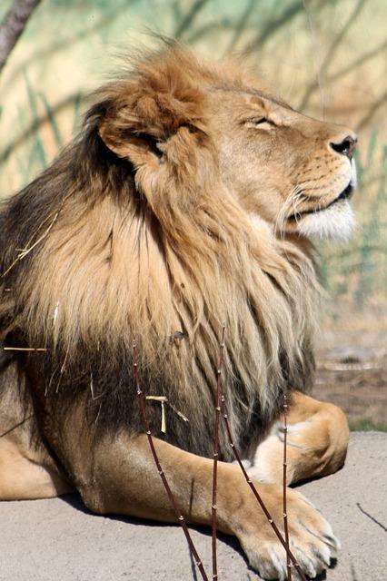 Lion, Zoo, Animal, Mammal, Nature, Wild, Africa, Head