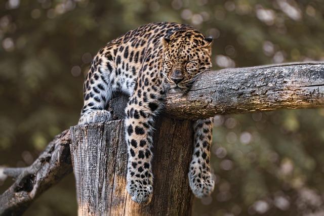 Zoo, Panther, Feline, Wild, Predator, Tired
