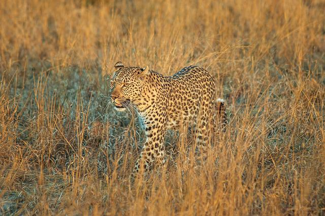 Leopard, Africa, Botswana, Wildcat, Safari, Big Cat