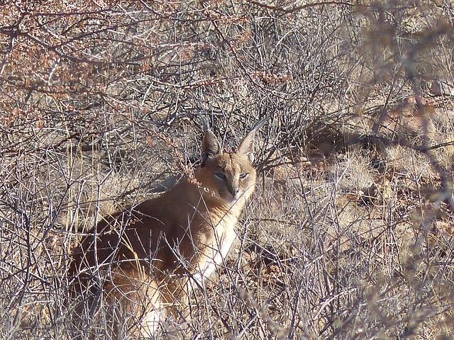 Karakal, Lynx, Wildcat, Lynx-like