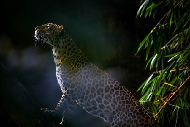 Leopard, Cat, Feline, Wild, Wilderness, Animal