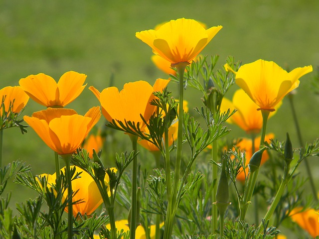 Poppy, Wildflower, California, Orange, Bright, Sunny
