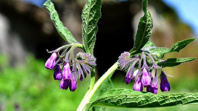 Comfrey, Spring, Nature, Wildflower