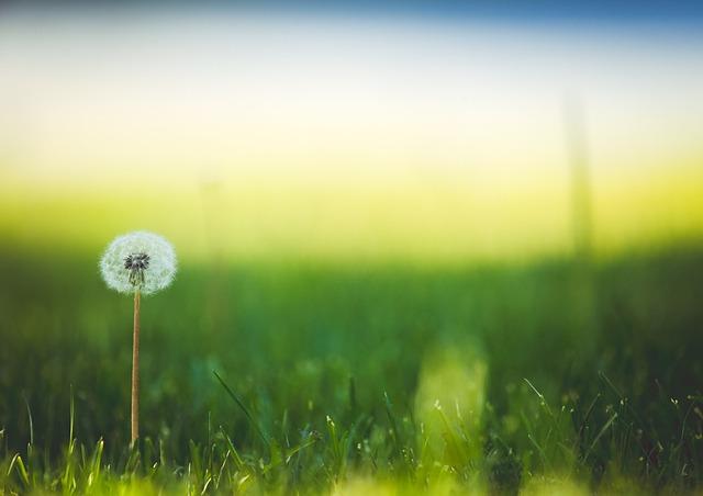 Flower, Dandelion, Meadow, Wildflower, Seed Head