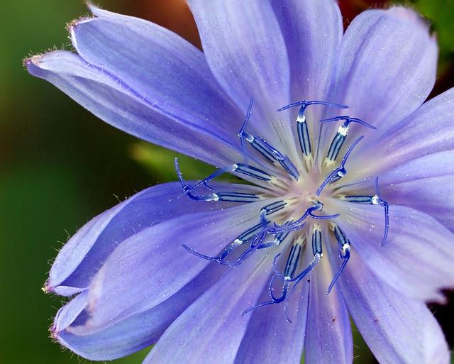 Flower, Wildflower, Blue, Chicory, Blossom, Nature