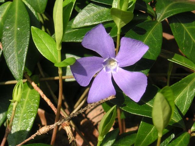 Wildflower, Flower, Periwinkle Flower, Mauve Vinca