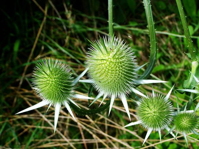 Milk Thistle, Wildflower, Agra Plant