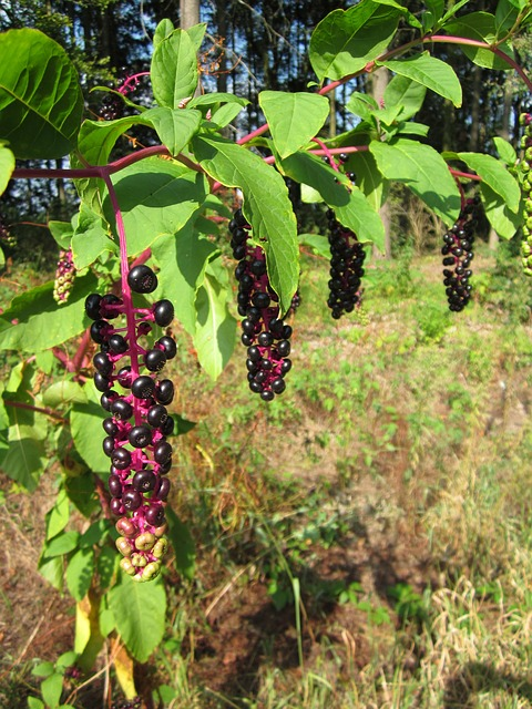 Phytolacca, Pokeberry, Pokebush, Flora, Wildflower