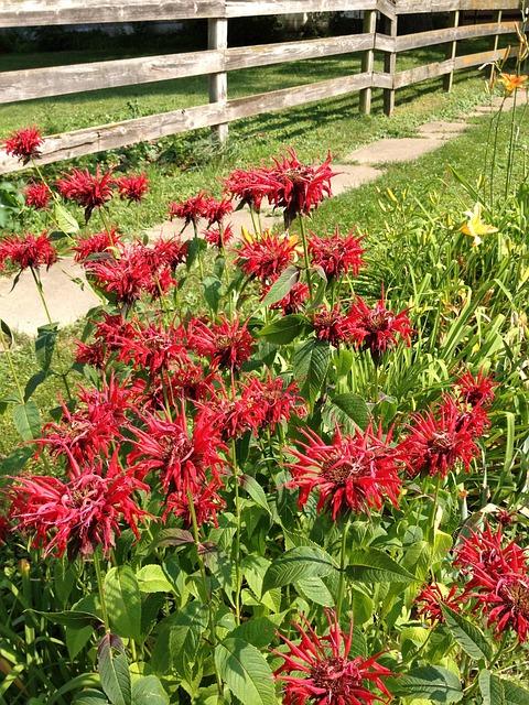 Wildflowers, Flowers, Bee Balm, Monarda, Fence