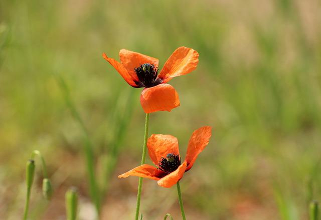 Poppies, Poppy Flower, Wildflowers, Blooming Poppies