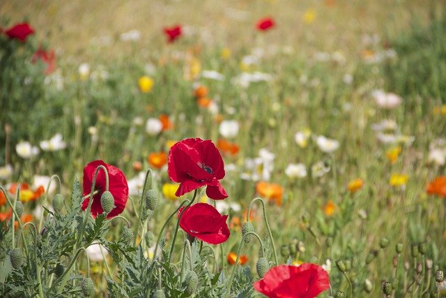 Poppies, Flowers, Field, Wildflowers, Bloom, Blossom