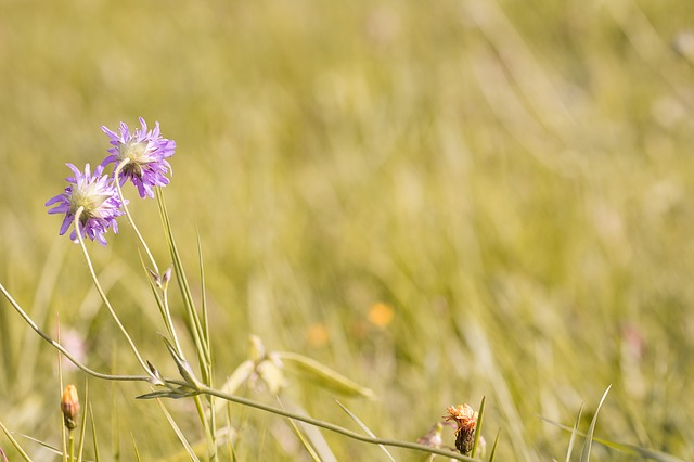 Meadow, Wildflowers, Deaf-skabiose, Pigeon Scabious