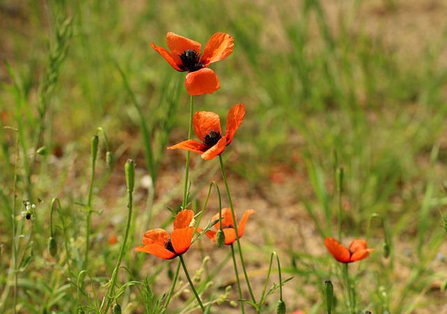 Poppies, Wildflowers, Red, Poppy Field, Poppy Flower