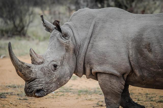 Animal, Africa, Wilderness, Wildlife, Rhino, Rhinoceros