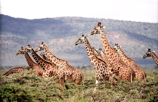 Giraffe, Wild, Wildlife, Nature, Safari, Africa, Neck