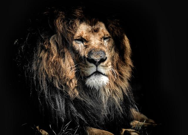 Old, Old Age, Lion, Dignity, Wildlife, Aging, Rough