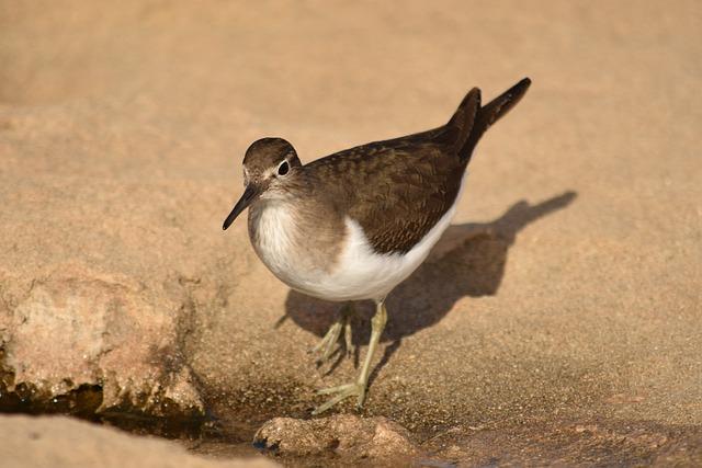 Stint, Bird, Wildlife, Nature, Beach, Animal