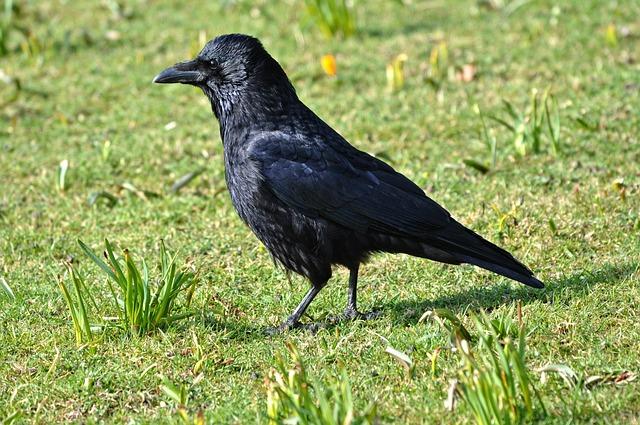 Crow, Bird, Animal, Corvus, Wildlife, Head, Crow's Head