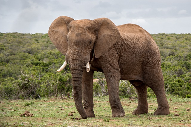 Elephant, Wildlife, Mammal, Nature, Animal