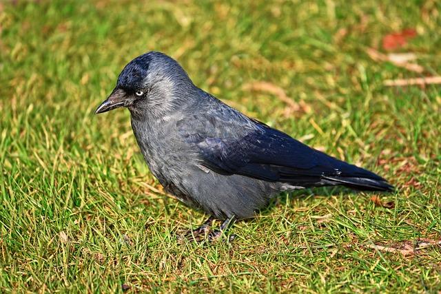 Jackdaw, Bird, Animal, Corvus, Corvidae, Wildlife
