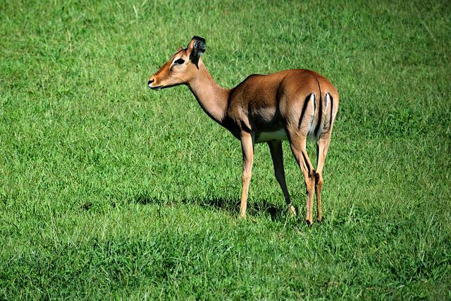 Deer, Doe, Wildlife, Animal, Mammal, Nature, Wild