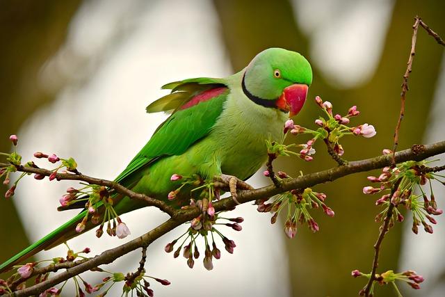 Rose Ringed Parakeet, Bird, Animal, Exotic, Wildlife