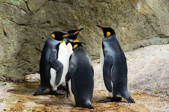 King Penguins, Birds, Animals, Penguins, Wildlife