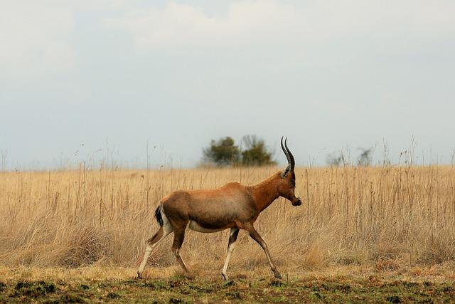 Blesbok, Antelope, Animal, Game, Wildlife, Red, Blaze