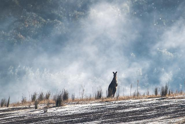Eastern Grey Kangaroo, Australian, Australia, Wildlife