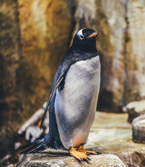 Penguin, Avian, Bird, Wildlife, Flightless Bird