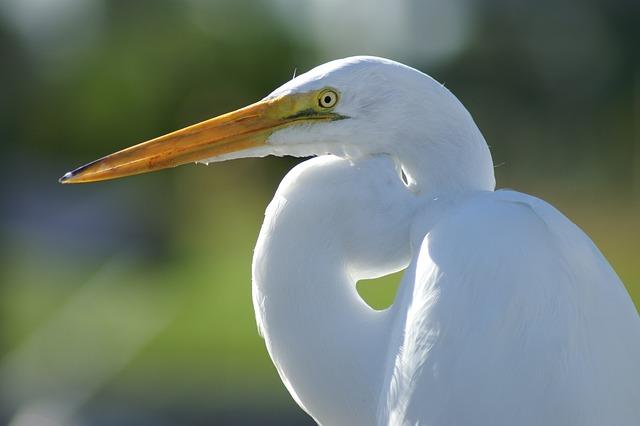 Crane, White, Bird, Fly, Wings, Feather, Wildlife, Beak