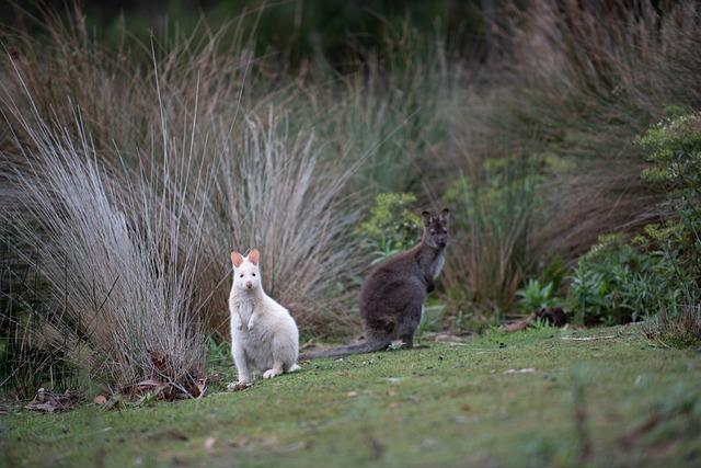 Wallaby, Bennetts Wallaby, Marsupial, Mammal, Wildlife