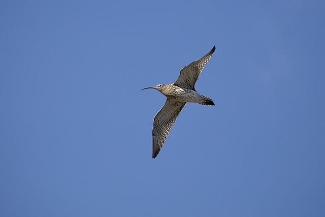 Curlew, Bird, Wildlife, Ornithology, Beak