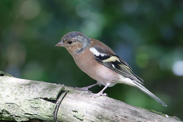 Chaffinch, Wildlife, Bird
