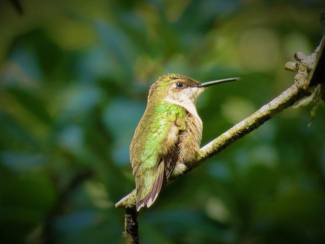 Bird, Hummingbird, Wildlife