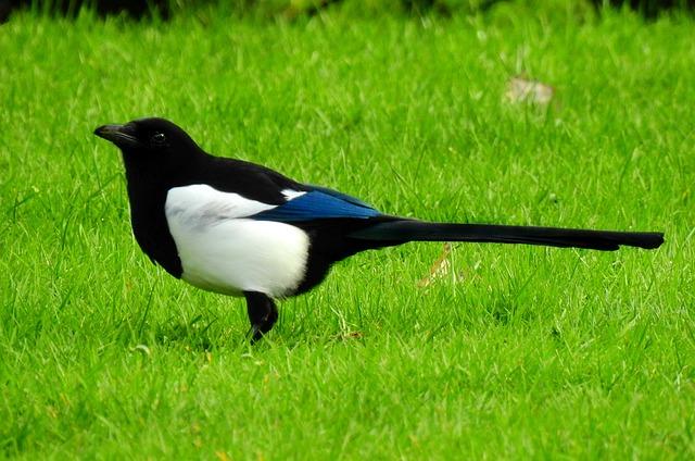 Magpie, Bird, Animal, Wildlife, Corvidae, Intelligence