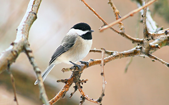 Chickadee, Bird, Wildlife, White
