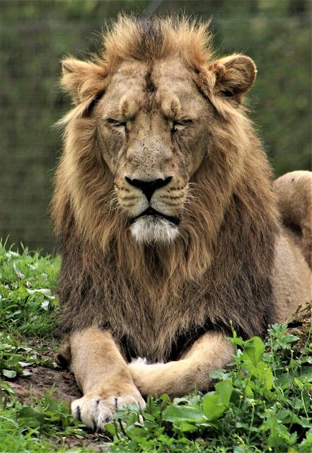 Wildlife, Mammal, Cat, Carnivore, Animal, Lion, Zoo
